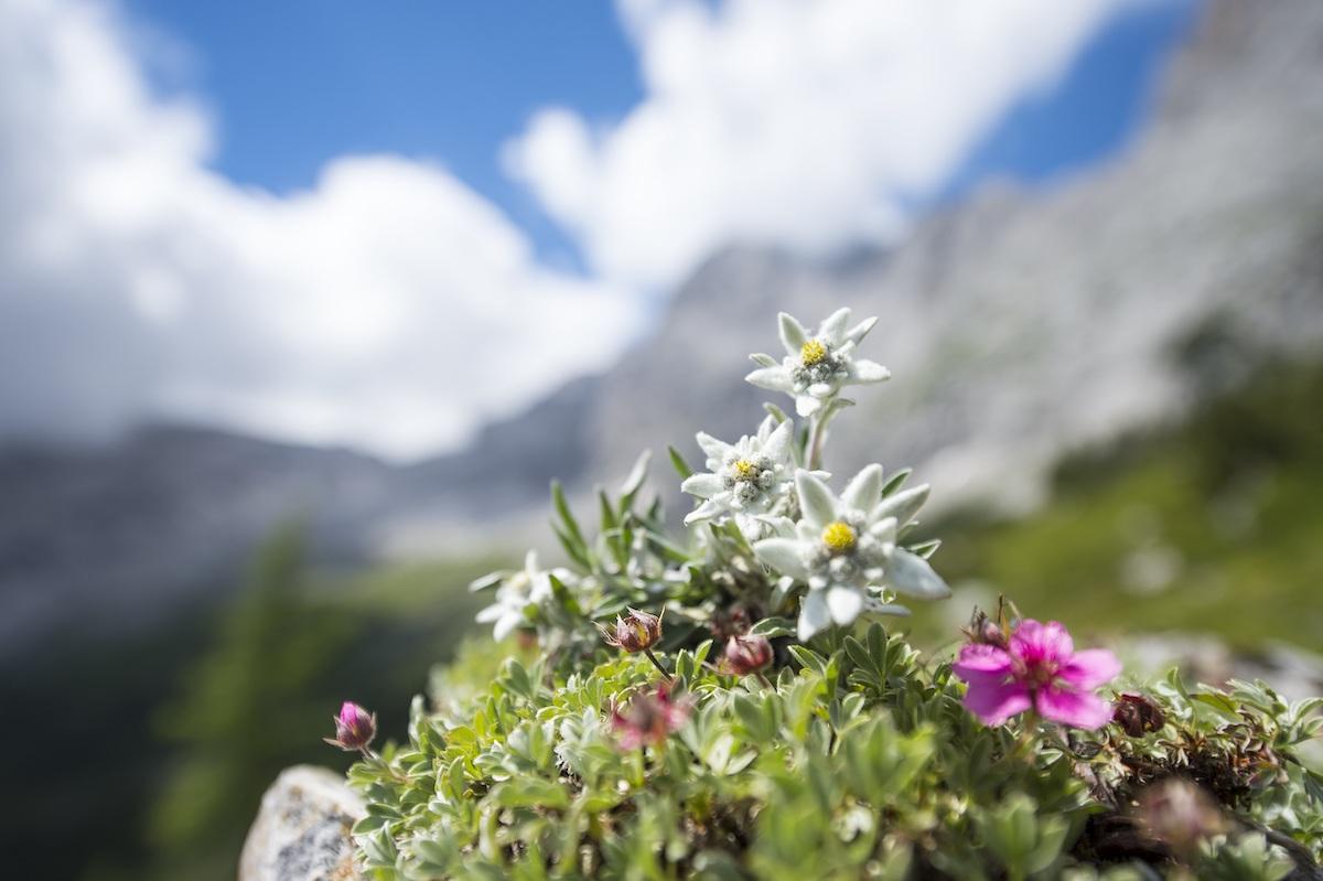 Nature In Făgăraș Mountains The Edelweiss In Romania Romania Insider