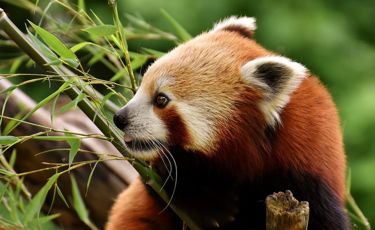 Brasov zoo welcomes first red panda in Romania