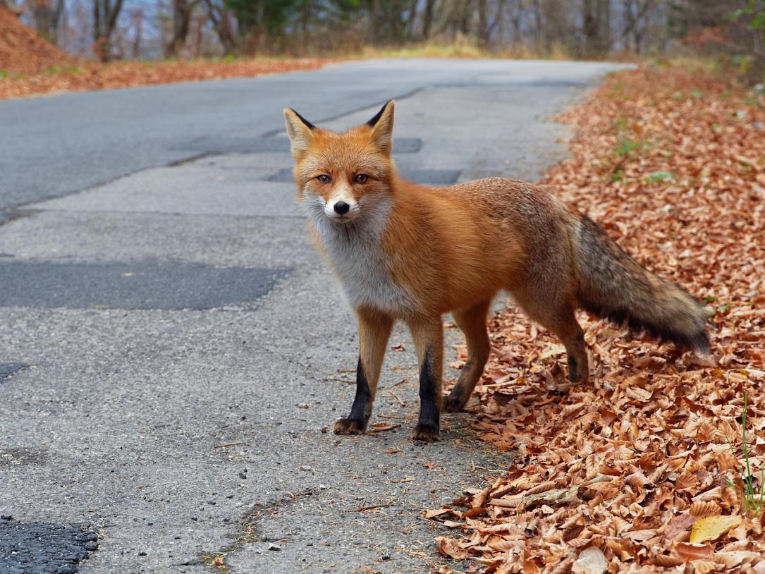 Nature in Făgăraș Mountains: The fox in Romania | Romania Insider