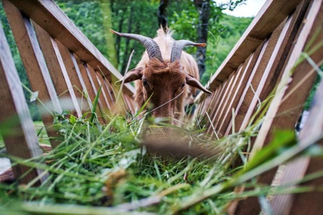 Ferma de sub Penteleu - the goats