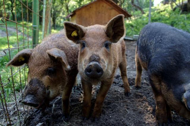 Ferma de sub Penteleu - the pigs