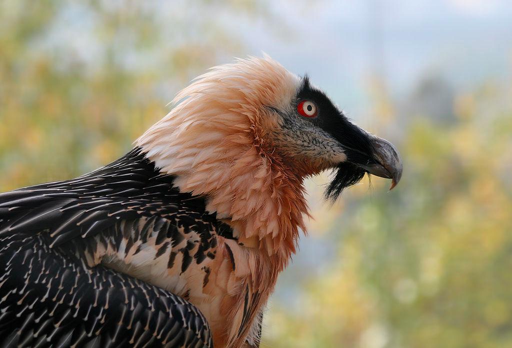 bearded vulture - photo #15